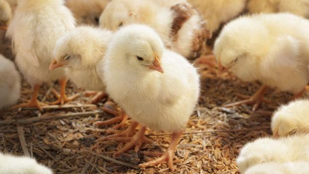 Sexador de pollos trabajos más raros del mundo