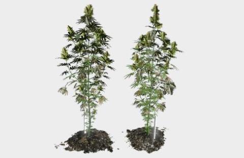 dayz cannabis