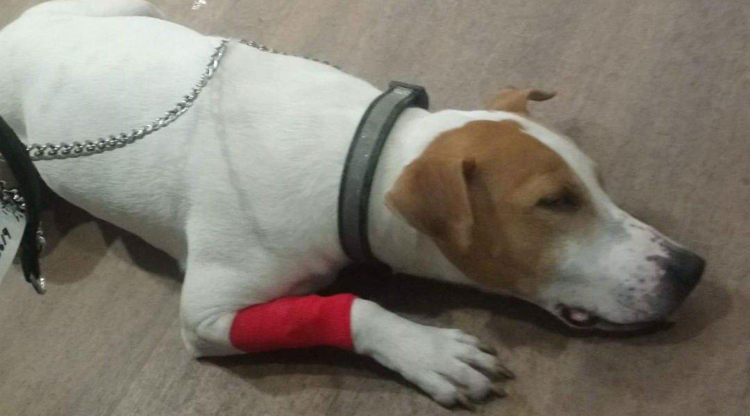 Un perro operado tras comerse un cartucho de nintendo ds